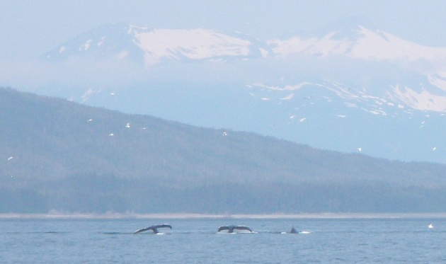 Close to my house, saw some whales feeding from the boat!